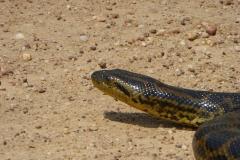 Anaconda_auf_Transpantaneira