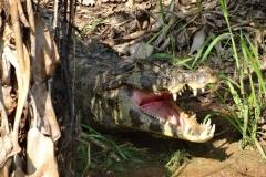 Ein weiterer Kaiman bei der Zahnpflege
