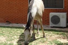 Eines der freilaufenden Pferde auf dem Hotelgelände