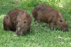 Wasserschwein Männchen, links gut erkennbar an der Duftdrüse