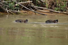 zwei Wasserschweine schwimmen nach Hause