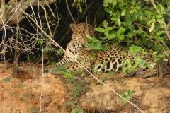 Jaguar in der Morgen Sonne
