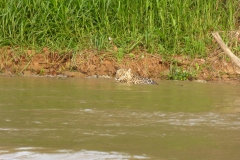 Jaguar_im_Wasser2