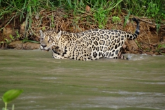 Jaguar_im_Wasser3