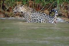 Jaguar_im_Wasser4