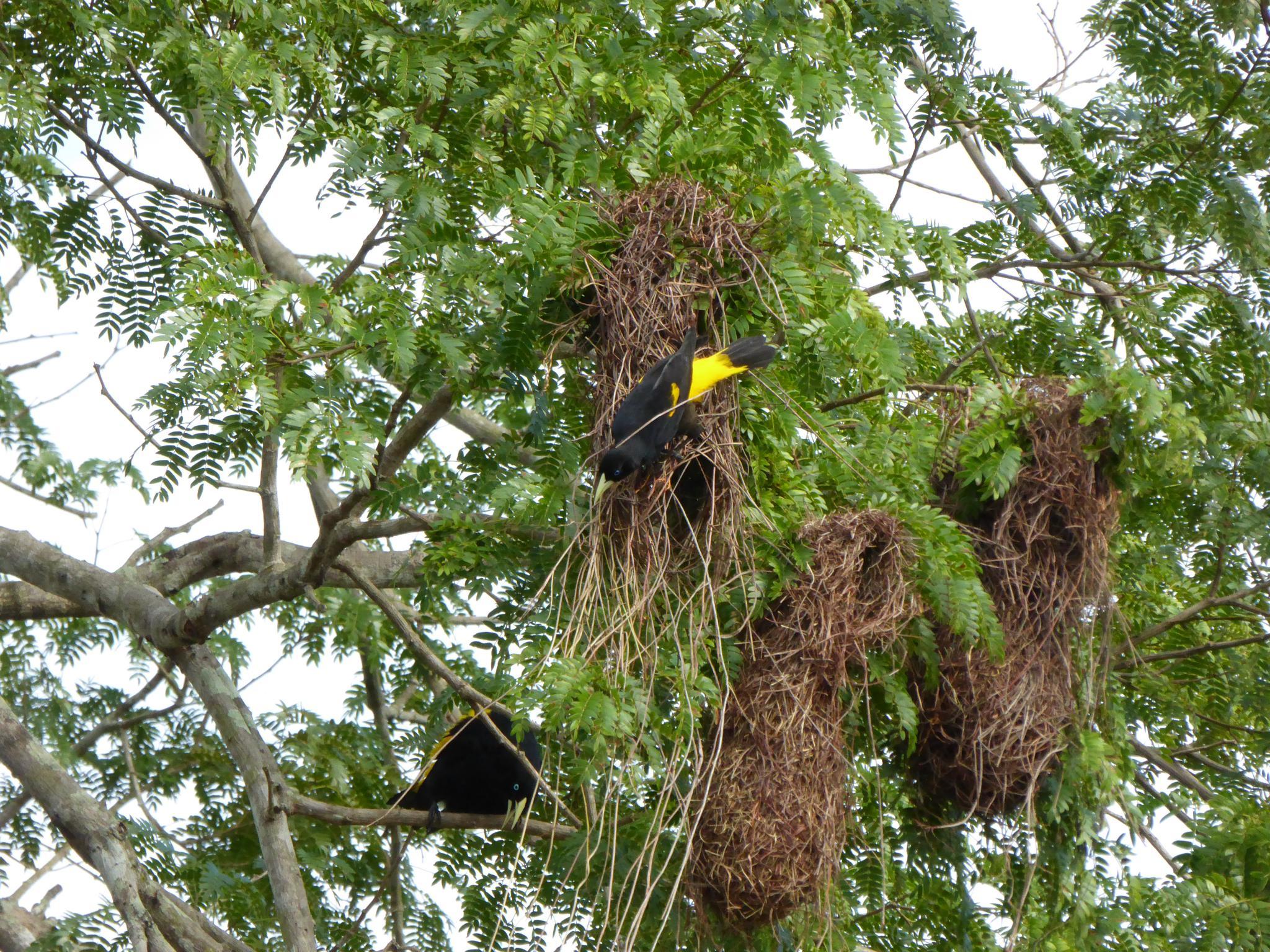 Gelbbürzelkassike an ihren Nestern