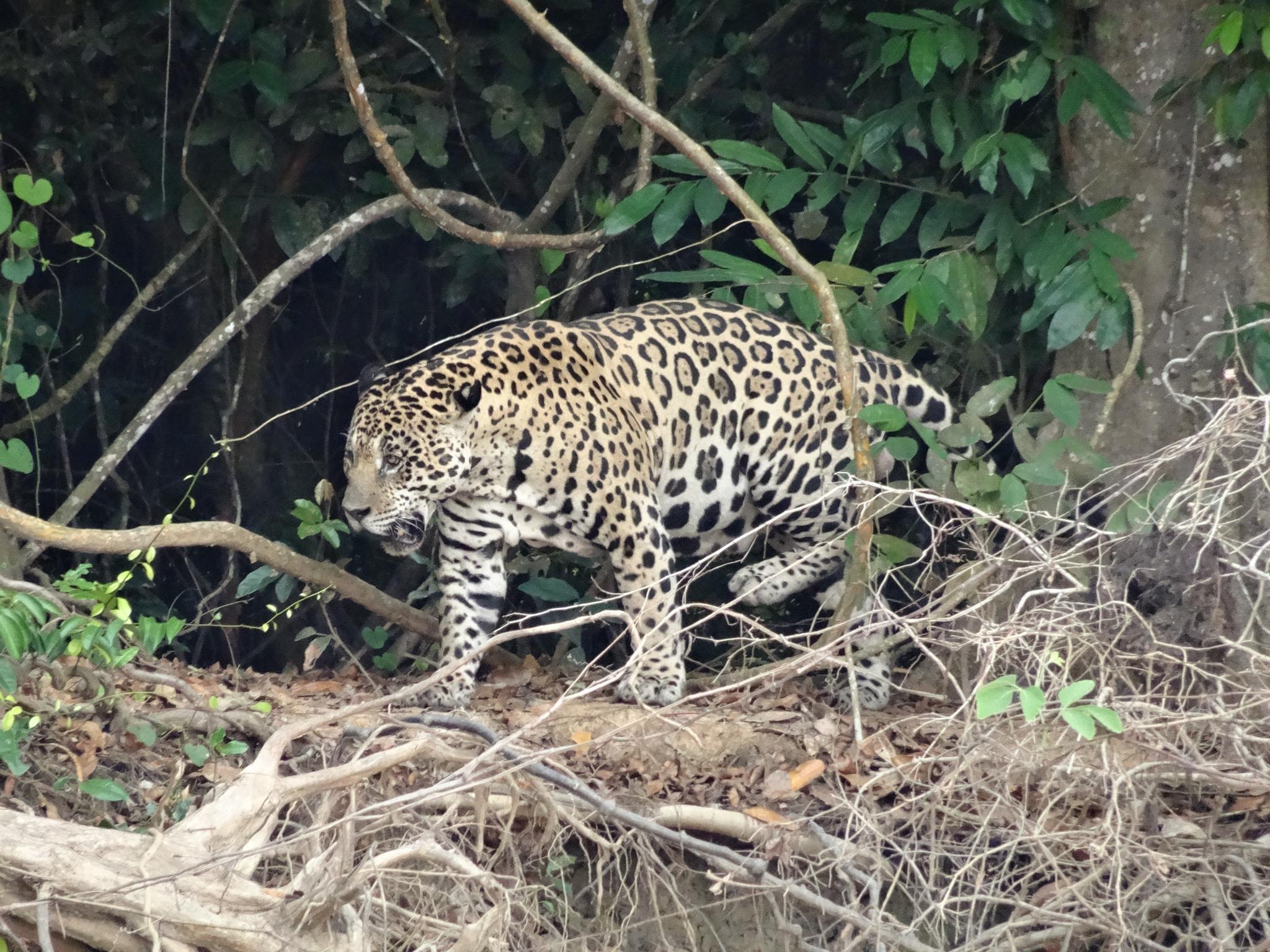 Unser erster Jaguar im Pantanal