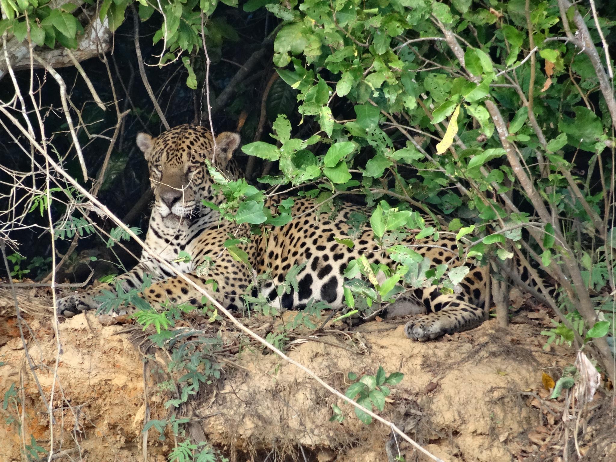 Der Jaguar geniesst die Morgensonne