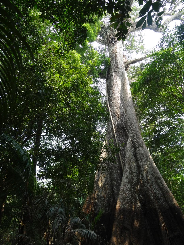 Der grosse Sumauna Baum