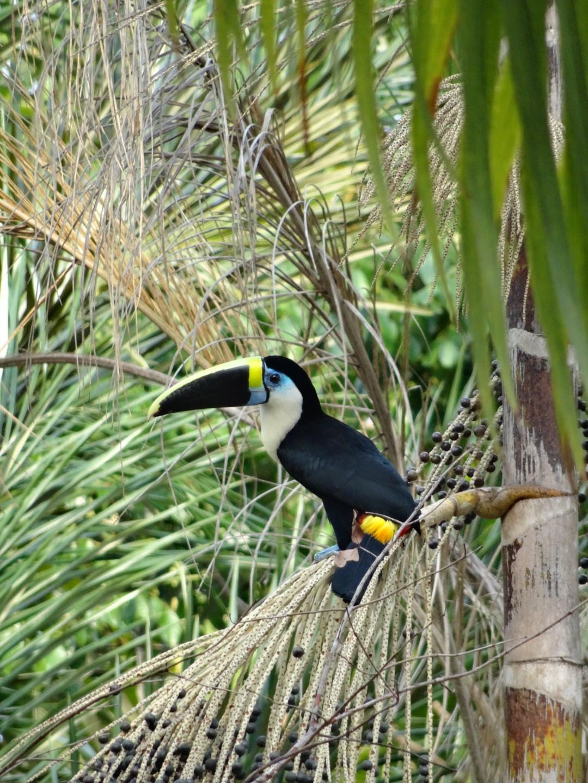 Der nicht zahme Tukan
