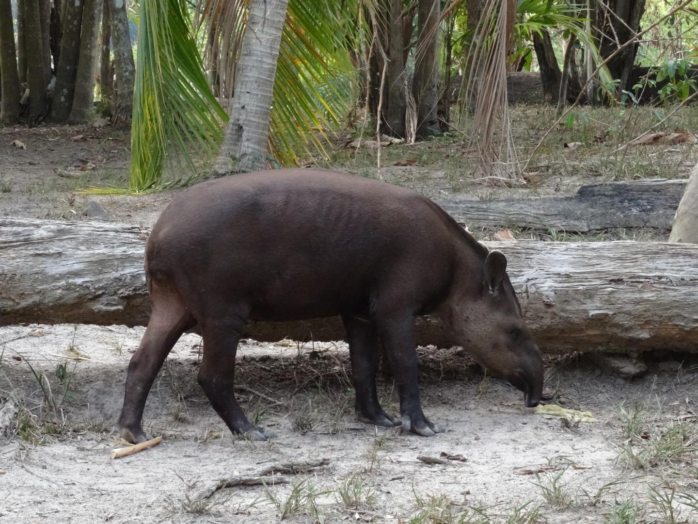 Der zahme Tapir