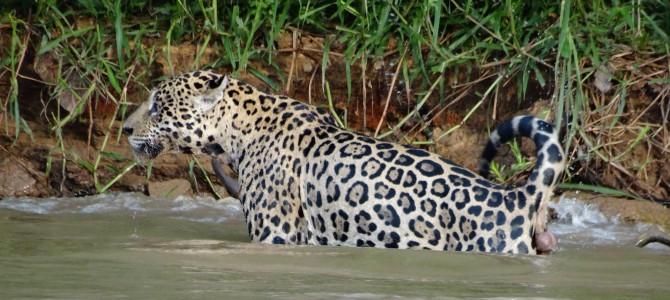 Jaguar Fotosafari, 2.Tag