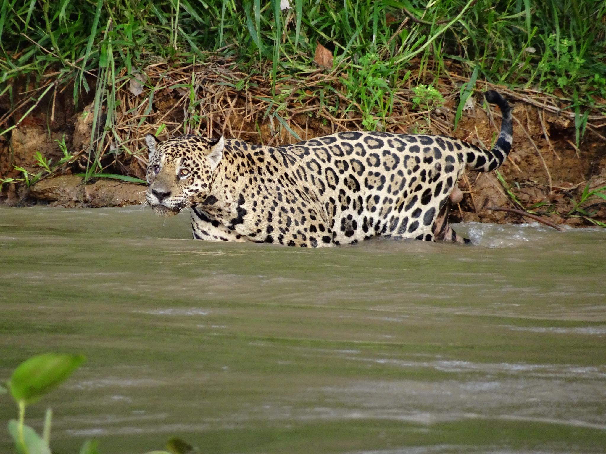Jaguar beim Baden erwischt
